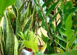 Les vertus de la banane miss aqua planet for Toutes les plantes vertes