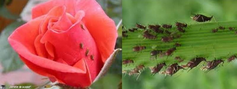 puceron rosier