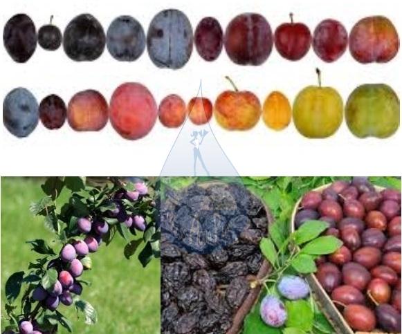 prunes-pruneaux