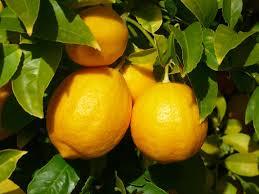citron dans arbre